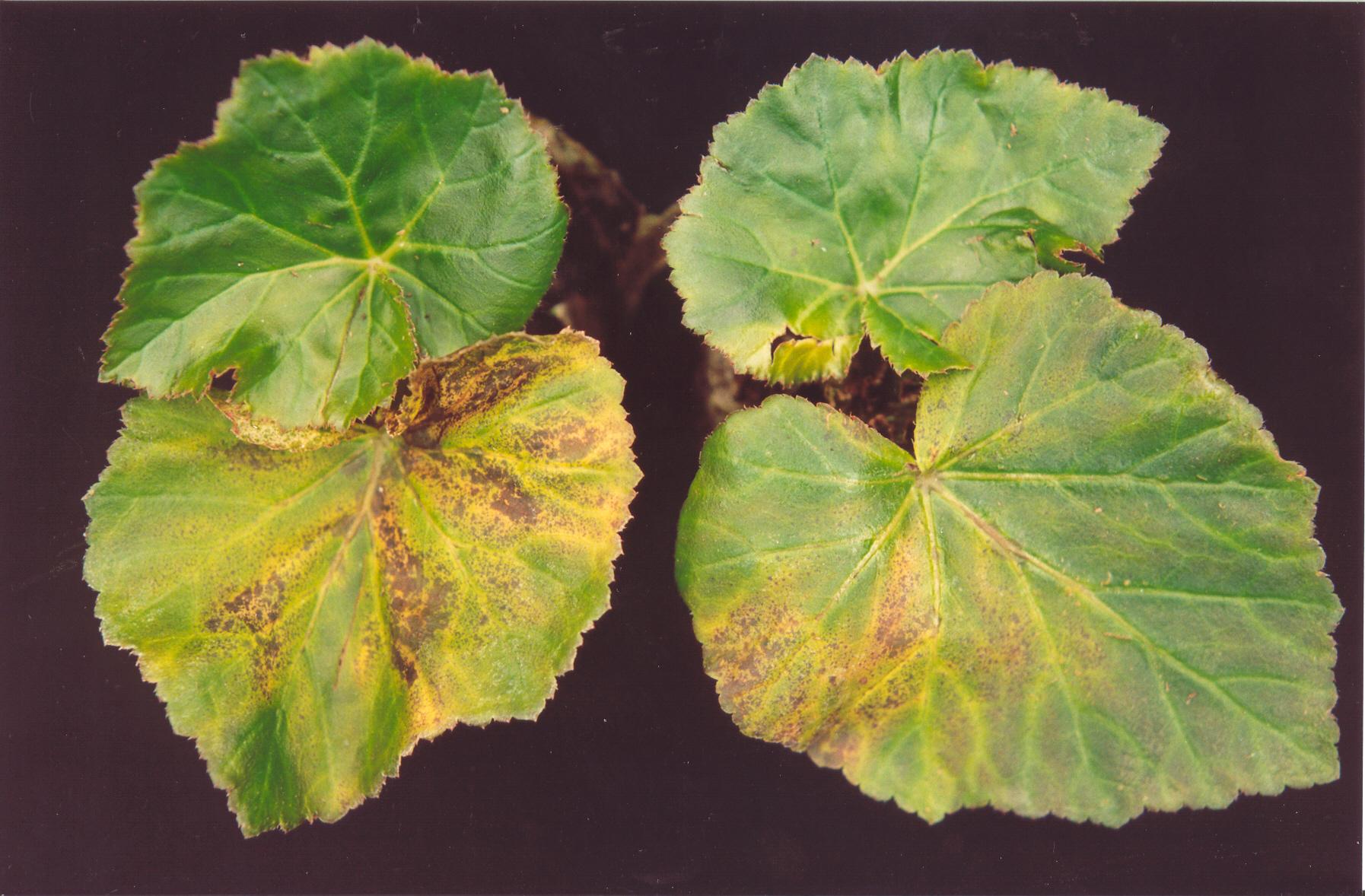 Bacterieziekte in Begonia