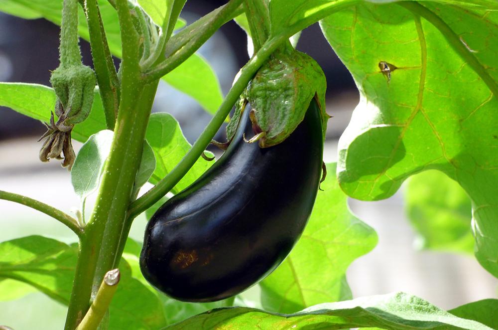 Eggplant Aubergine